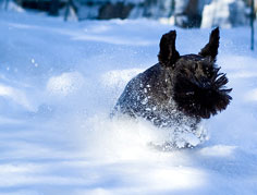Miniature Schnauzer in snow