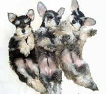 A black and silver pup and 2 salt and pepper pups