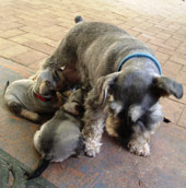 Salt and Pepper Miniature Schnauzer and pups