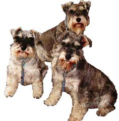 Salt and Pepper Miniature Schnauzers