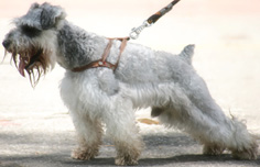 All schnauzers need an in diet supplement