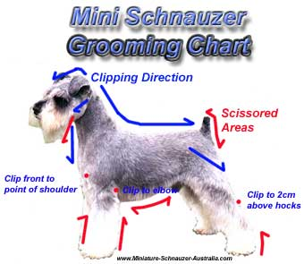 To keep your dog looking great, clipping and grooming a miniature