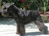 Black miniature schnauzer adult