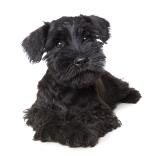 black miniature schnauzer puppy