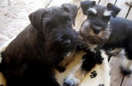 A black, and a black and silver miniature schnauzer puppy