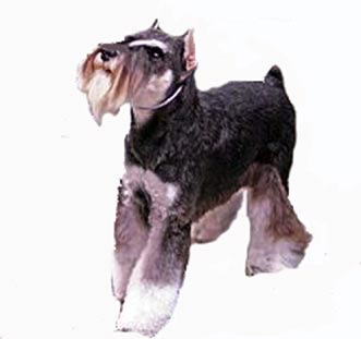 Miniature Schnauzer body beautiful