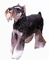 Black and Silver Schnauzer