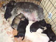 Newborn Puppy Care Guide   Miniature Schnauzer Australia