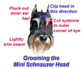 Mini schnauzer grooming tips for pets miniature schnauzer australia to make the job easy you do need to invest in the best dog clippers wahl andis or oster pet clippers which will cost you a couple of hundred dollars but solutioingenieria Gallery