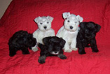 True White Miniature Schnauzer pups