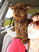 liver toy schnauzer adult in car