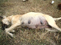 dog breeding gestation and the dog breeding process