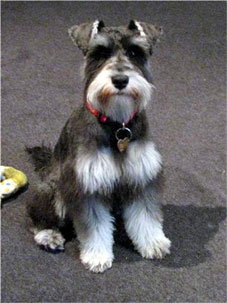 Miniature schnauzer puppy hair