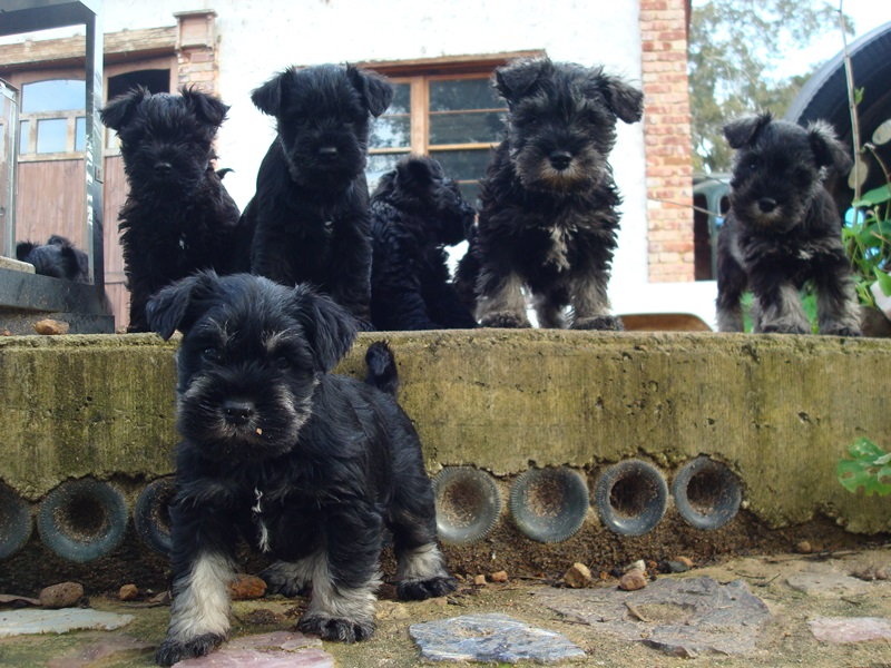 Miniature Schnauzer Puppies for Sale Perth
