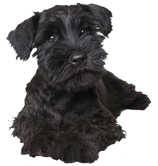 Which Dog Hair Clippers are Best? | Miniature Schnauzer Australia